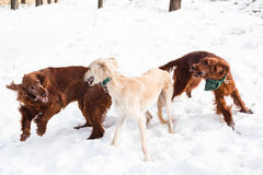 Irish setters and hound Royalty Free Stock Photography