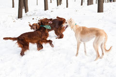 Irish setters and hound Royalty Free Stock Images