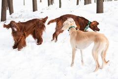 Irish setters and hound Stock Photography