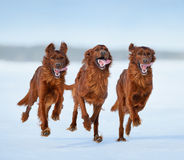 Irish Setters in motion Stock Photo