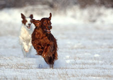 Irish Setters running Stock Image
