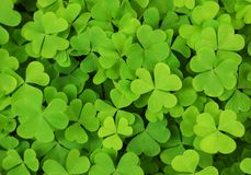 Irish shamrock clover background. Irish patriotic background of green shamrocks Stock Image
