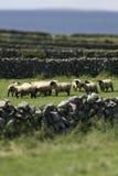 Irish sheep. Sheep in Ireland (near Galway Royalty Free Stock Photography