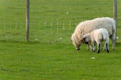 Irish sheep. Grazing at rural Ireland Stock Photo