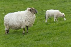 Irish sheep Stock Image