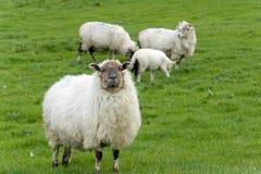 Irish sheep. Grazing at rural Ireland Stock Images