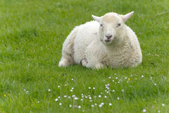 Irish sheep. Grazing at rural Ireland Royalty Free Stock Photo