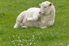 Irish sheep. Grazing at rural Ireland Royalty Free Stock Image