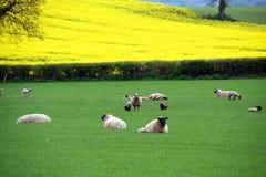 Irish Sheep Royalty Free Stock Photo