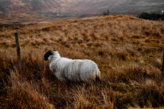 Irish sheep in the Bluestack Mountains in Donegal Ireland. This sheep is grazing alone on the hills of donegal, enjoying life Stock Images