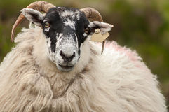 Irish sheep. Close-up portrait Stock Photography
