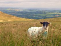 Irish sheep. In the comeragh mountains in Ireland stock image