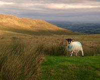 Irish sheep. In the comeragh mountains in Ireland stock images