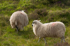 Irish sheep. Couple grazing in meadow Stock Photography