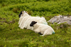 Irish sheep. And cub on Mahon Falls. Shot taken in summer 2017 Stock Photo