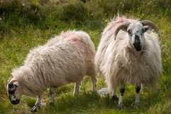 Irish sheep. Grazing in meadow Stock Photography