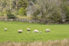 Irish sheep grazing in pasture with ancient ruins in background Stock Image