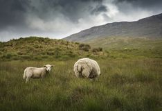 Irish Sheep. In the meadow royalty free stock images