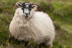 Irish sheep. Looking straight to the camera Stock Image