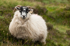 Irish sheep. Looking straight to the camera Stock Photos