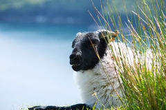 Irish sheep on a meadow Royalty Free Stock Photos