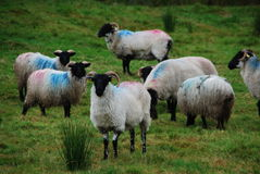 Irish Sheep Royalty Free Stock Image