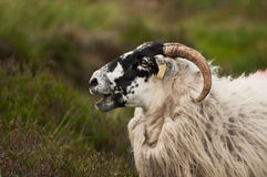Irish sheep. Side face portrait Royalty Free Stock Images