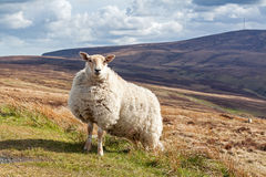 Irish sheep Stock Photo