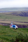 Irish sheep  watching the panorama Royalty Free Stock Photos