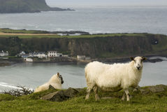 Irish sheeps Royalty Free Stock Images