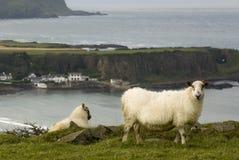 Irish sheeps Royalty Free Stock Images