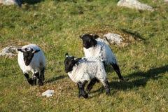 Irish sheeps. Cuet irish sheeps having fun together Stock Images