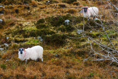Irish sheeps on the hillside Stock Images