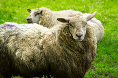 Irish sheeps in Killarney Stock Image