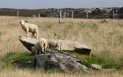 Irish sheeps near Dunquin on Dingle peninsula. In Ireland Stock Photography