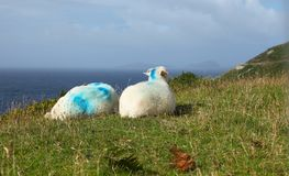 Irish sheeps near Dunquin on Dingle peninsula. In Ireland Stock Photos