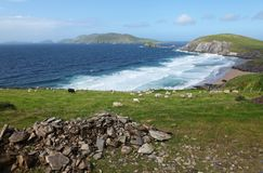 Irish sheeps near Dunquin on Dingle peninsula. In Ireland Stock Photo