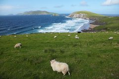 Irish sheeps near Dunquin on Dingle peninsula. In Ireland Royalty Free Stock Image