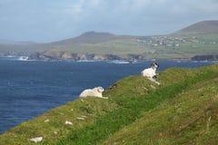 Irish sheeps near Dunquin on Dingle peninsula stock images