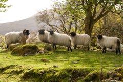 Irish sheeps. Staring at the strangers Royalty Free Stock Photo