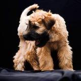 Irish soft coated wheaten terrier stock image