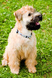 Irish soft coated wheaten terrier royalty free stock images