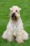 Irish Soft Coated Wheaten Terrier Royalty Free Stock Image