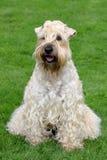 Irish Soft Coated Wheaten Terrier. Funny Irish Soft Coated Wheaten Terrier Royalty Free Stock Image