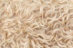 Irish soft coated wheaten terrier white and brown fur wool stock photo