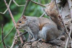 Irish Squirrel stock images