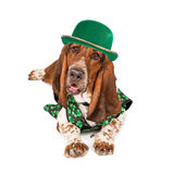 Irish St Patricks Basset Hound Dog. A funny photo of a Basset Hound dog wearing an Irish St. Patrick's Day outfit and green hat Royalty Free Stock Images