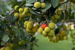 Irish Strawberry Tree. With one red ball Stock Photo