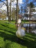 Swan at the Irish Stud National park. Irish Stud National park and gardens ,Kildare,Ireland stock images