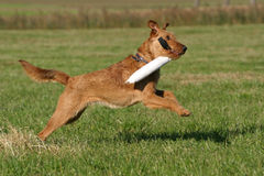 Irish terrier. Cute dog having fun with its toy royalty free stock images